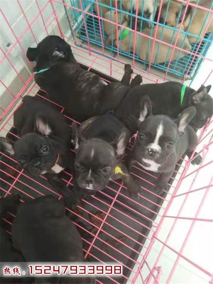 泉州繁殖纯种法国斗牛犬 法牛专业饲养